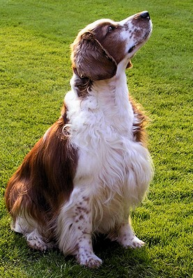 Welsh Springer Spaniel informal photo